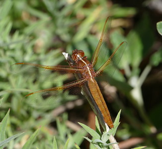 05_25_2017_Dragonfly in our back yard