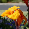 The intense colors of these flowers catch my eye from 50 feet away.  Yellow in bright sun and orange in the shade.