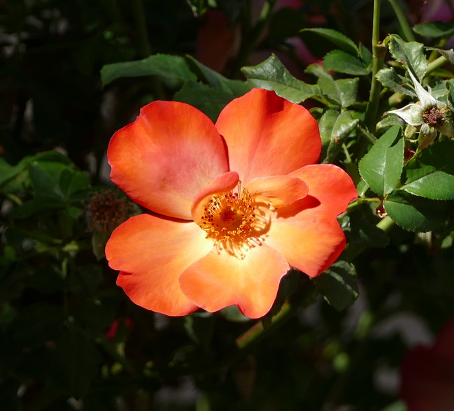 Then I encountered this very orange rose.  Appealing in a different way.