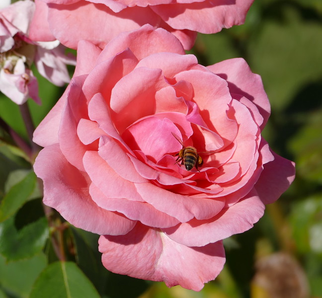 I couldn't get a photo of this honeybee on the rose flower at the top of this picture before it flew away but it came back to the lower flower.