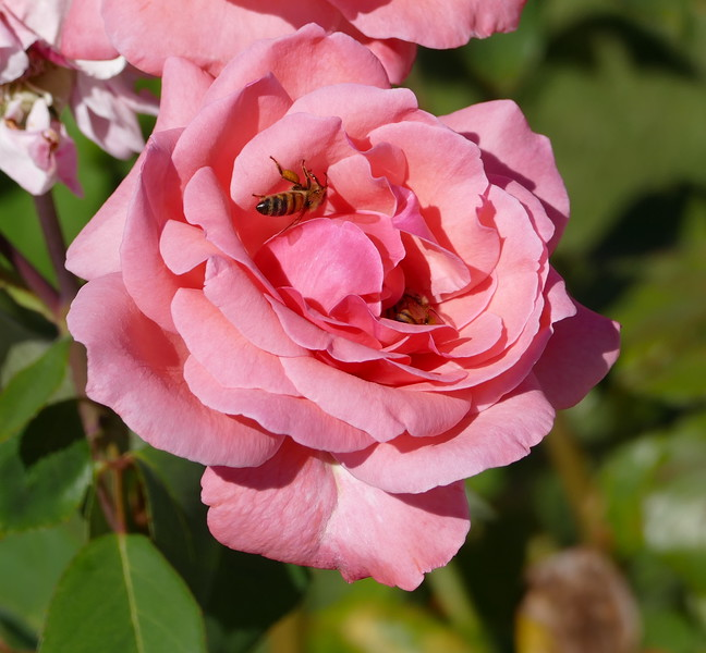 While the first bee was still inside the center of the rose, a second bee flew in.