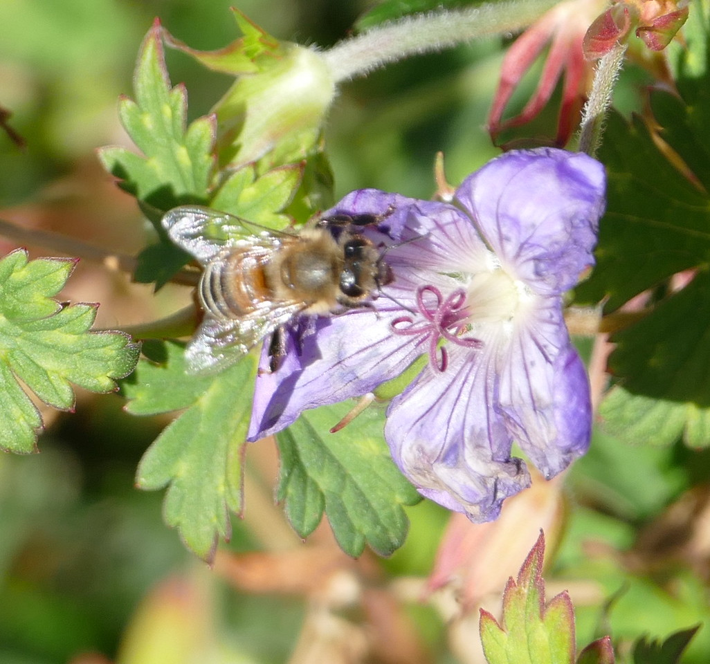 This flower was withering but still attractive to the bee.