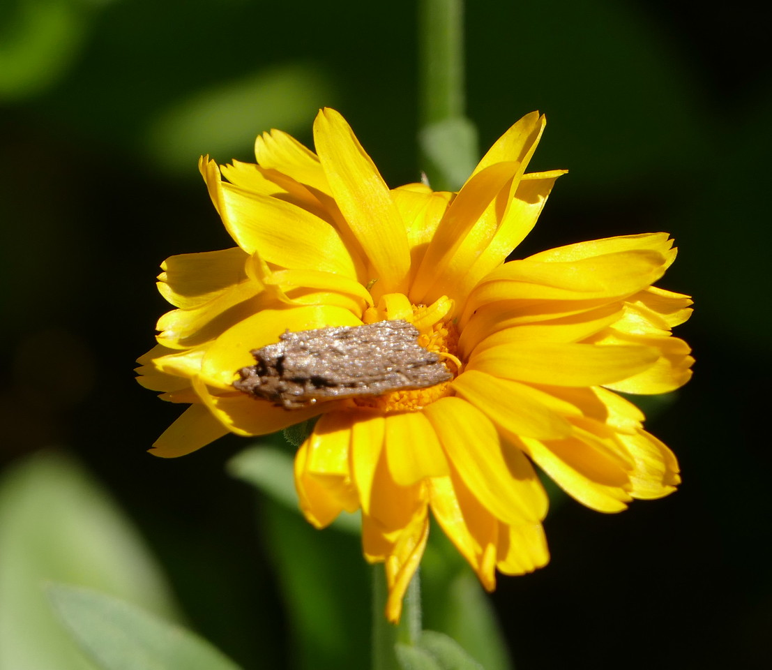 """I spotted a brown object on the next flower and thought """"Aha, it not a bee!  Perhaps a different insect.""""  On my PC, I could see that it's just some debris."""