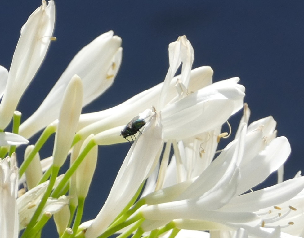 A clump of white lilies of the Nile caught my eye.  A fly on one flower.