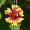 A little farther one, I saw some striking gaillardia flowers.  The honeybee was a bonus.