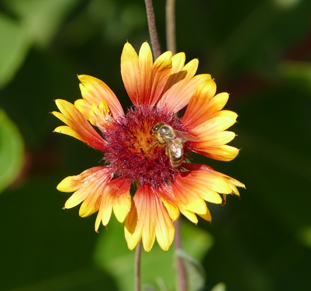 A little farther one, I saw some striking gaillardia flowers.  The honeybee was a bonus.