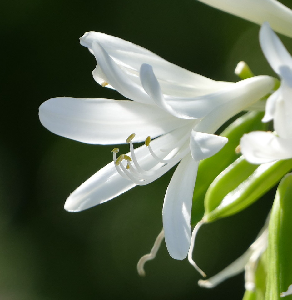 Lilies of the Nile are elegant in white as well as in blue.