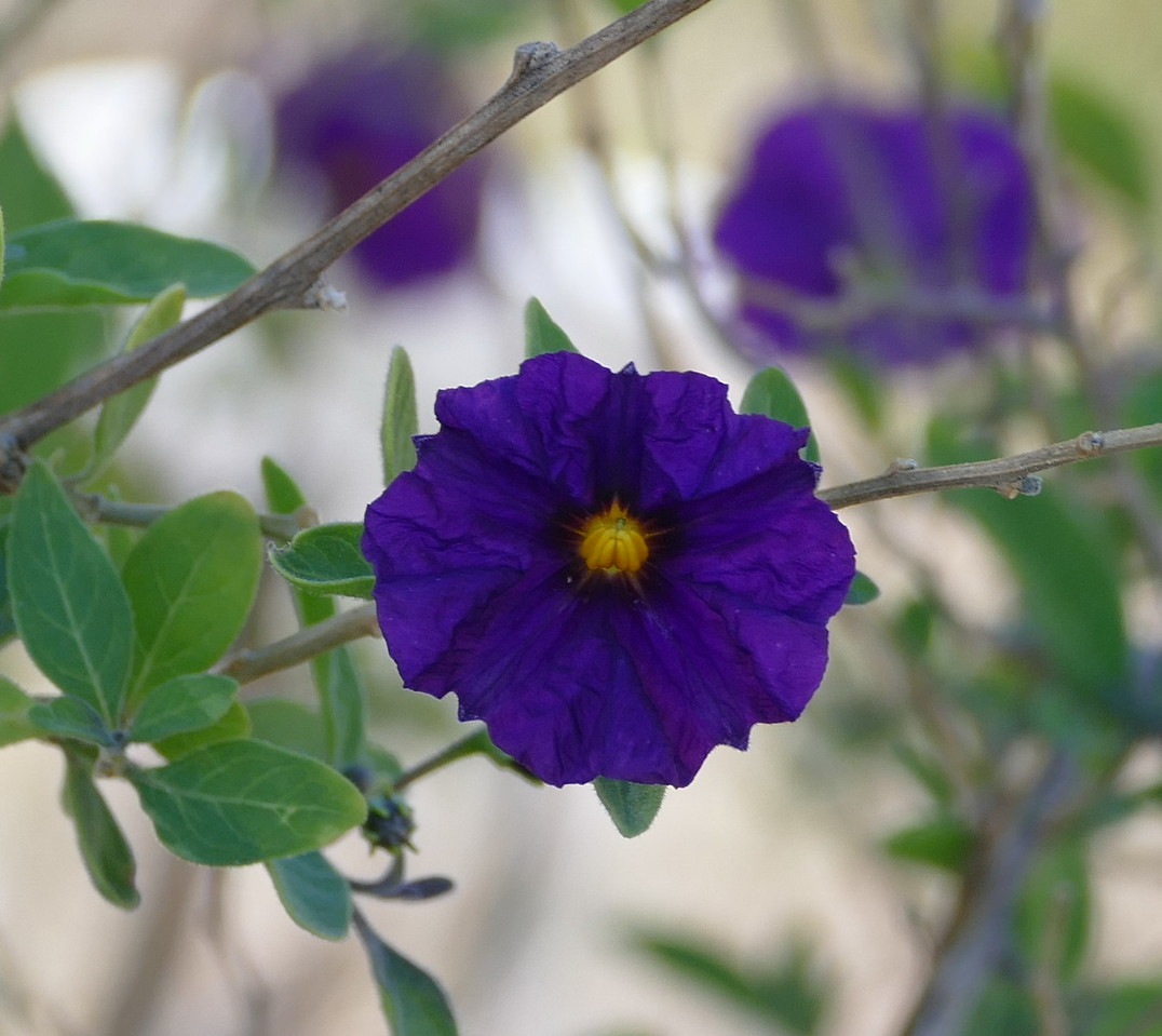 This flower of the same bush was in deeper shade and was itself a deeper blue purple.