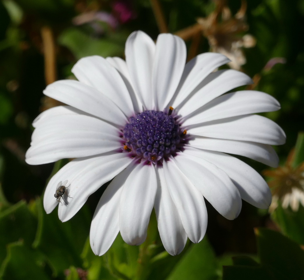 Years ago, we had African daisies like these in our back yard.  Lesley calls them freeway daisies because they were once planted along Calif. highways.  A fly was visiting this flower.