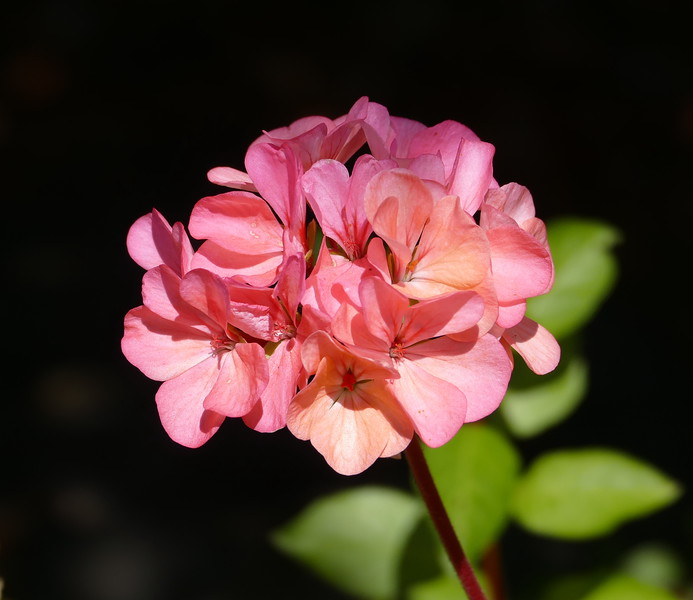 I hadn't seen pink geraniums like these on my walks this year.  A new pleasure.