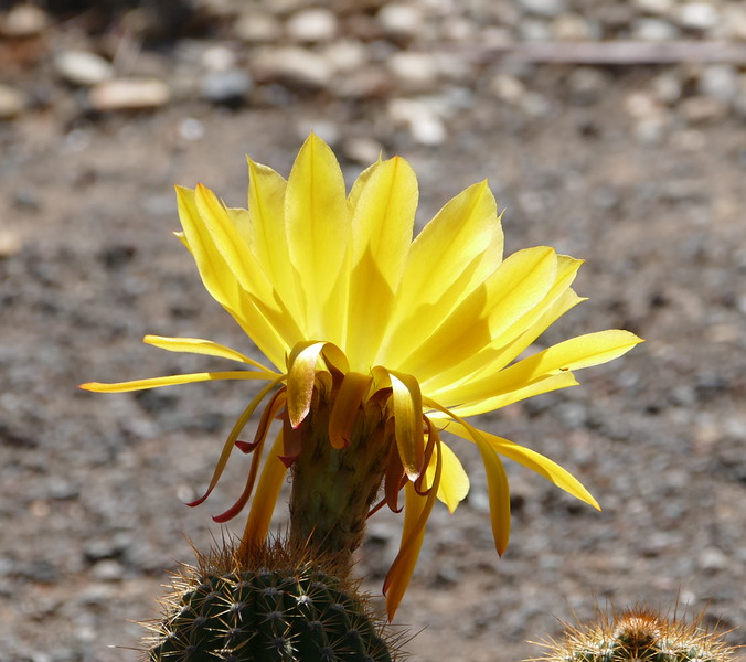 Sunlight lit up the petals of this cactus flower outside the Bancroft Garden.