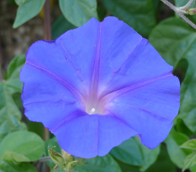 Farther on, morning glory vines on a tall wall provided different color. They were in shade so the colors were soft.