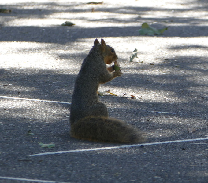 On a side street, a squirrel was munching an acorn.