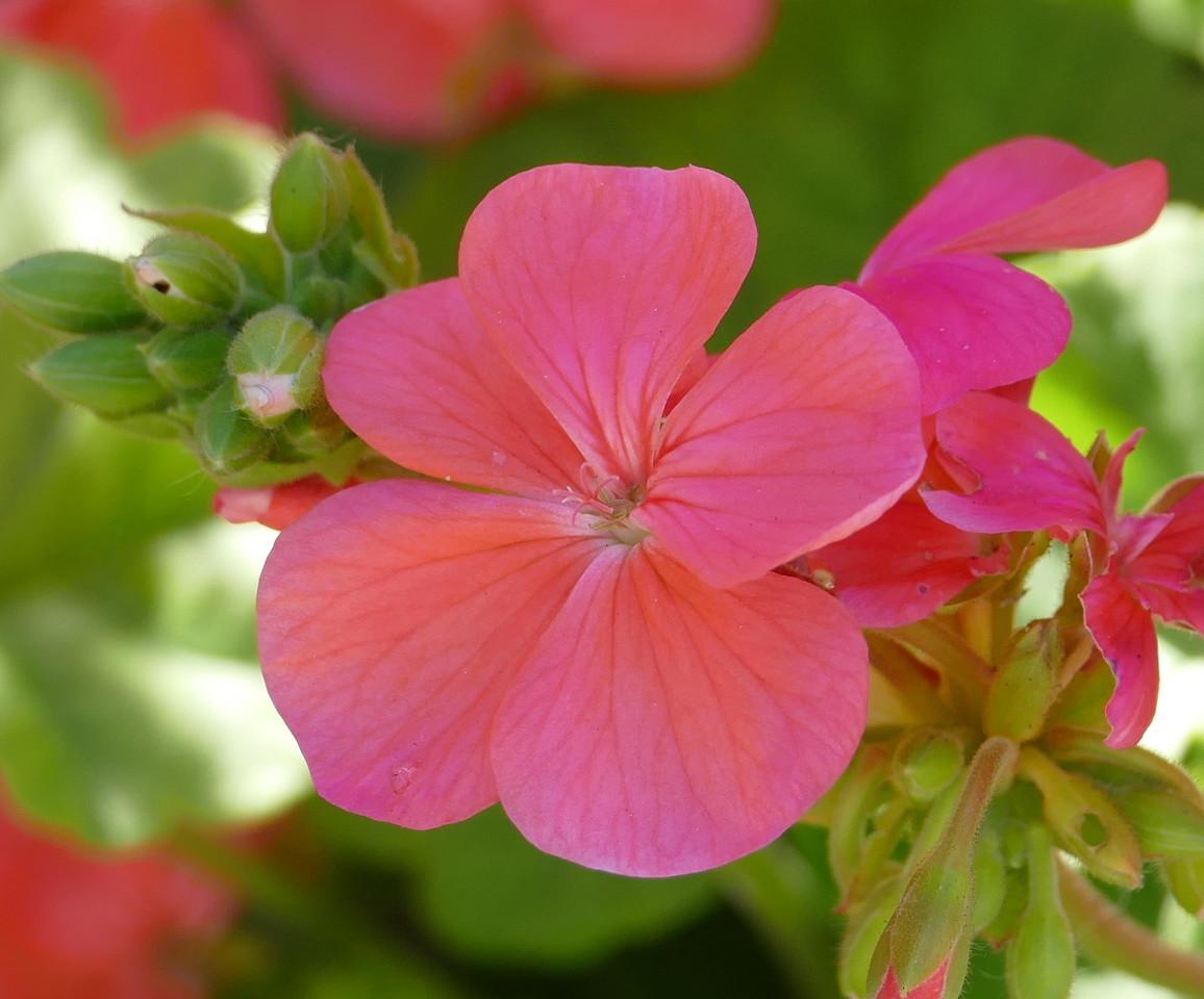 pink geranium_P1030430