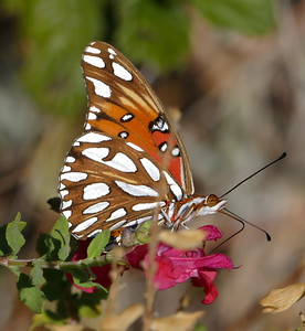 10_11_2016_butterfly in front yard