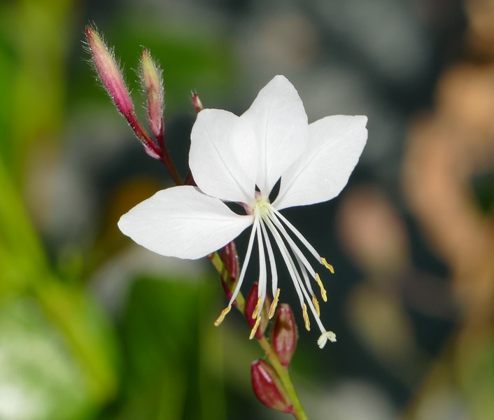 I did see some other things on that walk.  A white gaura flower.