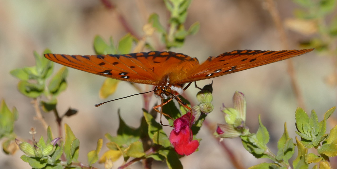 The butterfly turned to face me producing this unusual view.