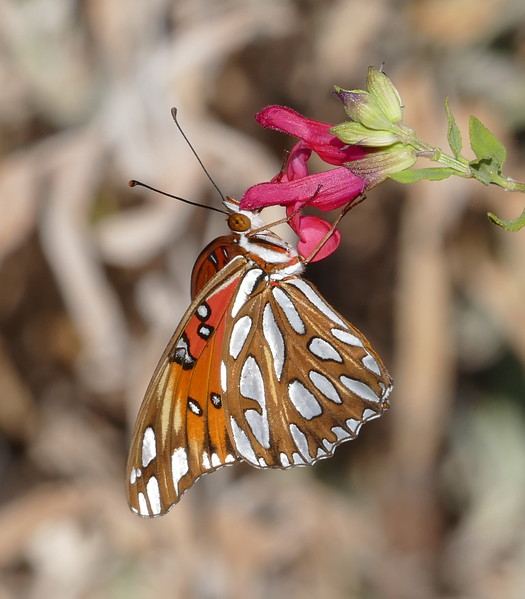 A bit closer and the colors look even better.  Such richness.Its proboscis is really buried in the flower.