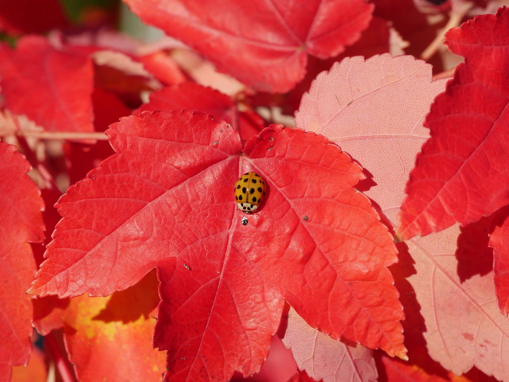 I wanted to get a fall color picture of a liquid amber tree with lots of very red leaves.  Then I spotted a ladybug on a leaf.  The best sort of fall color: plant and animal.