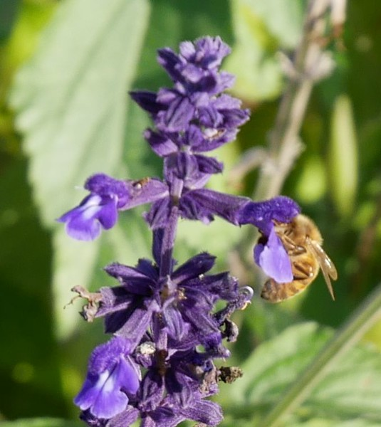 First I took the G85 out with the 12-60 lens for a walk in my neighborhood.  Camera and that lens worked OK and a got a couple of pictures that I liked.  Nice to see a honeybee out collecting nectar and pollen on Dec. 1st.