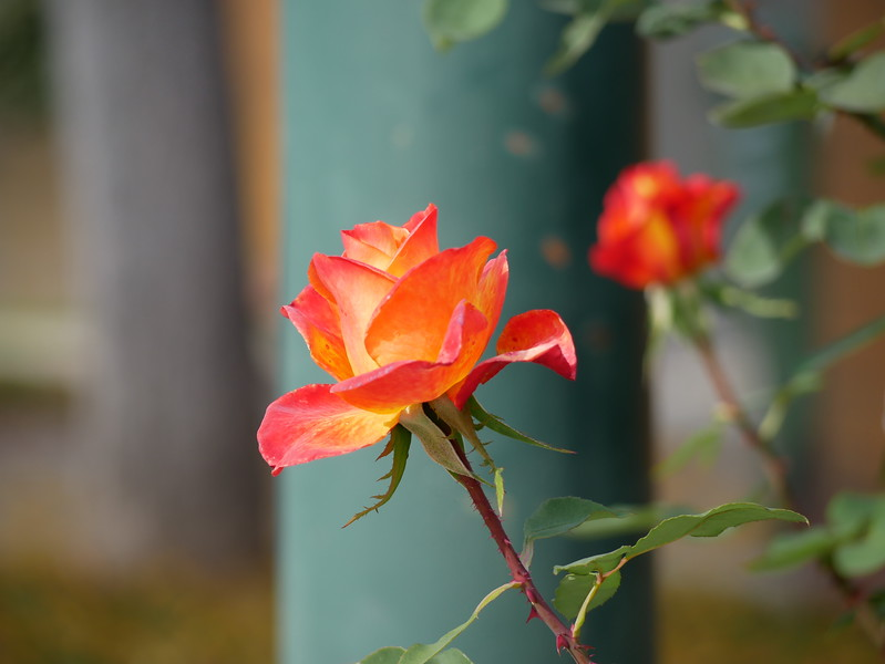 The next day I walked with a longer 45-200mm zoom lens on the G85 camera.  It captured the glow and color variation of this rose quite well.