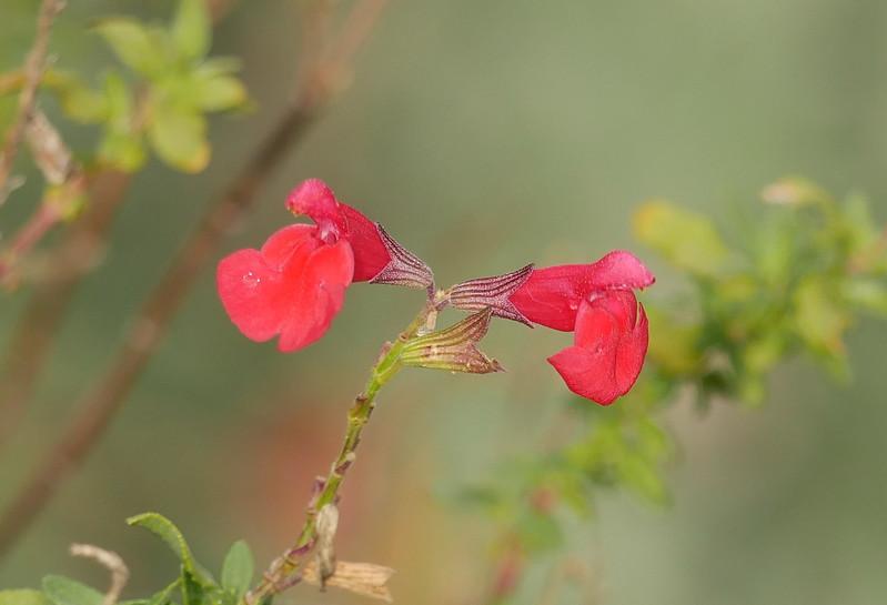 red sage_crop 2_P1070181