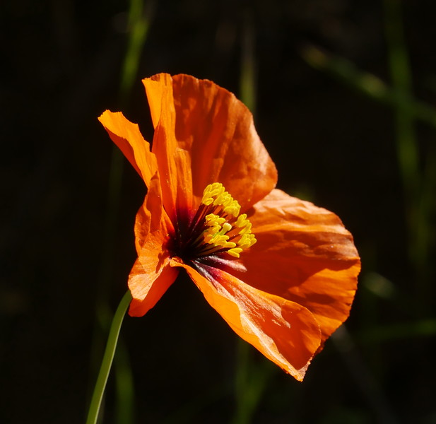 We love to go all over California to see wildflowers, wildlife and scenery.  However, some of the nicest things are a few miles from us like this intensely colored wind poppy.  Sometimes having a friend who knows where to find things helps a lot.
