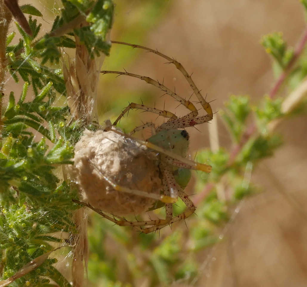 On one trip with a friend, we saw a single green lynx spider.  Armed with that visual memory, he located a group of these spiders with egg sacs.