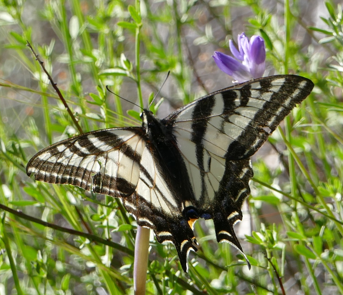 we did go on one multi-day trip this year to Central California.  We saw this butterfly along Nacimiento-Fergusson Road.