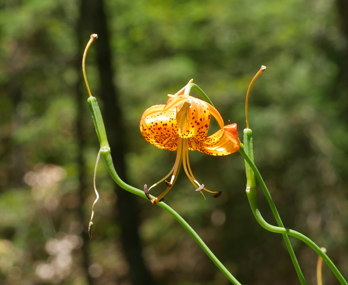 On another hot day, we went to Mount Tam in Marin County to see leopard lilies.  We got there barely in time to see them in bloom.