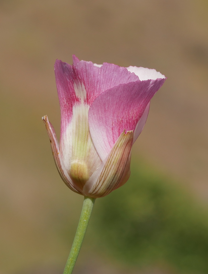 I'm not sure which of two species of white mariposa lily this was.  The color and shape are so elegant.