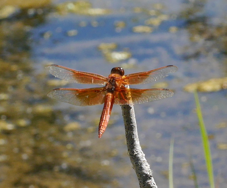 We also saw a dragonfly cruising along the creek.  They don't always stick around very long so we put in some effort getting good pictures.  Lesley had a short focal length lens on here camera but she kept creeping closer until she got close enough.