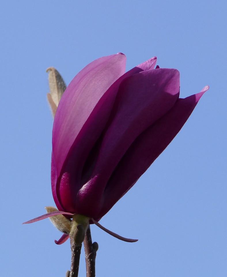 One tulip tree had very dark red flowers.
