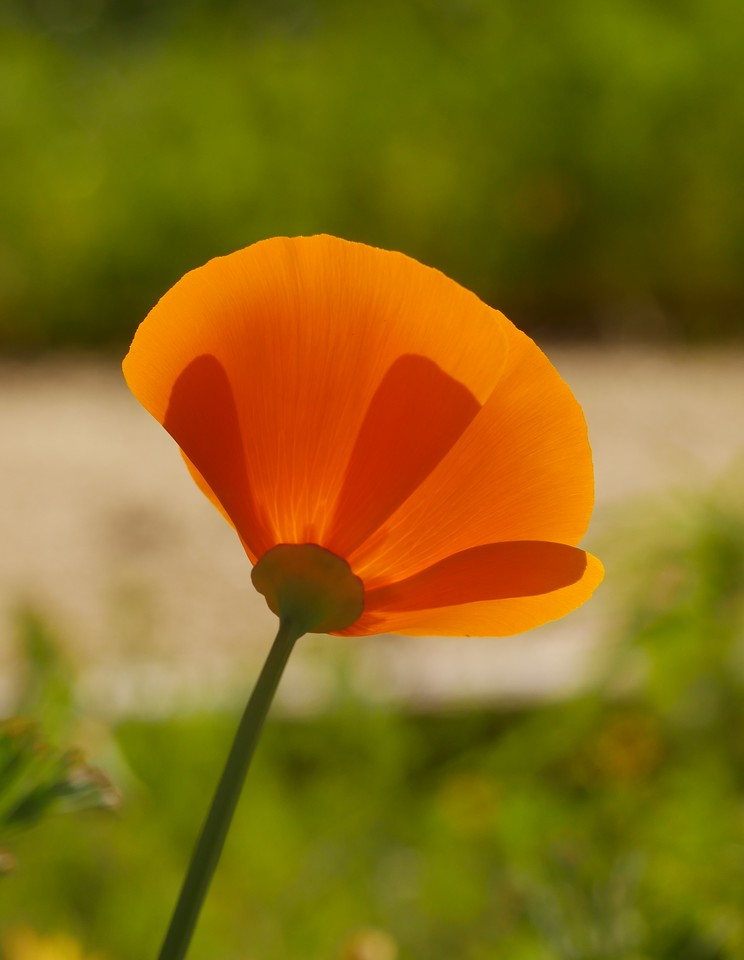 I can look at a lot of poppies before I tire of them. The overlaps of petals gave thisflower a two toned look with the sun shining through the petals.