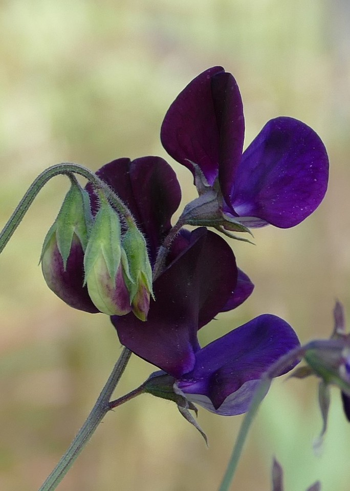 Most of the flowers on this pea vine were intensely deep purple.  Some appeared almost black.  I stayed on the sidewalk and couldn't choose my angle or groom around the subject so I took what was offered.