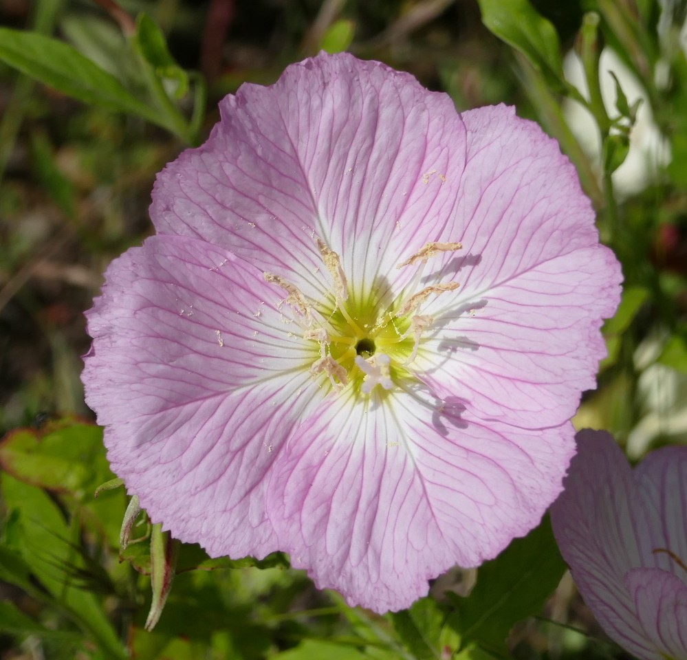 Another Mexican evening primrose flower a bit past its peak.  It is nice to see flowers at their peak but they often have a different beauty before and after the peak.