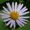 These asters hung on through the drought and this year they are prospering and multiplying.
