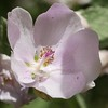 I didn't notice the white crab spider when I photographed this malacothamnus flower.