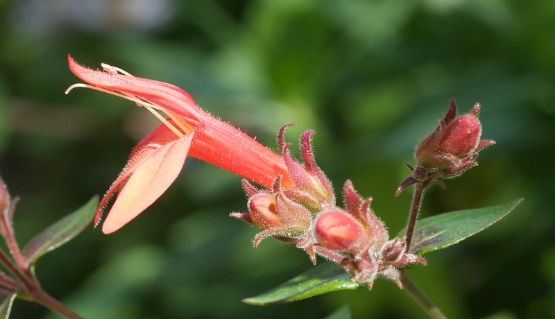 There are buds on our keckelia plants and the flowers are starting to open.