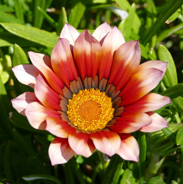 This striking gazania pulled me up short.  Hard to resist such vivid color and shape.