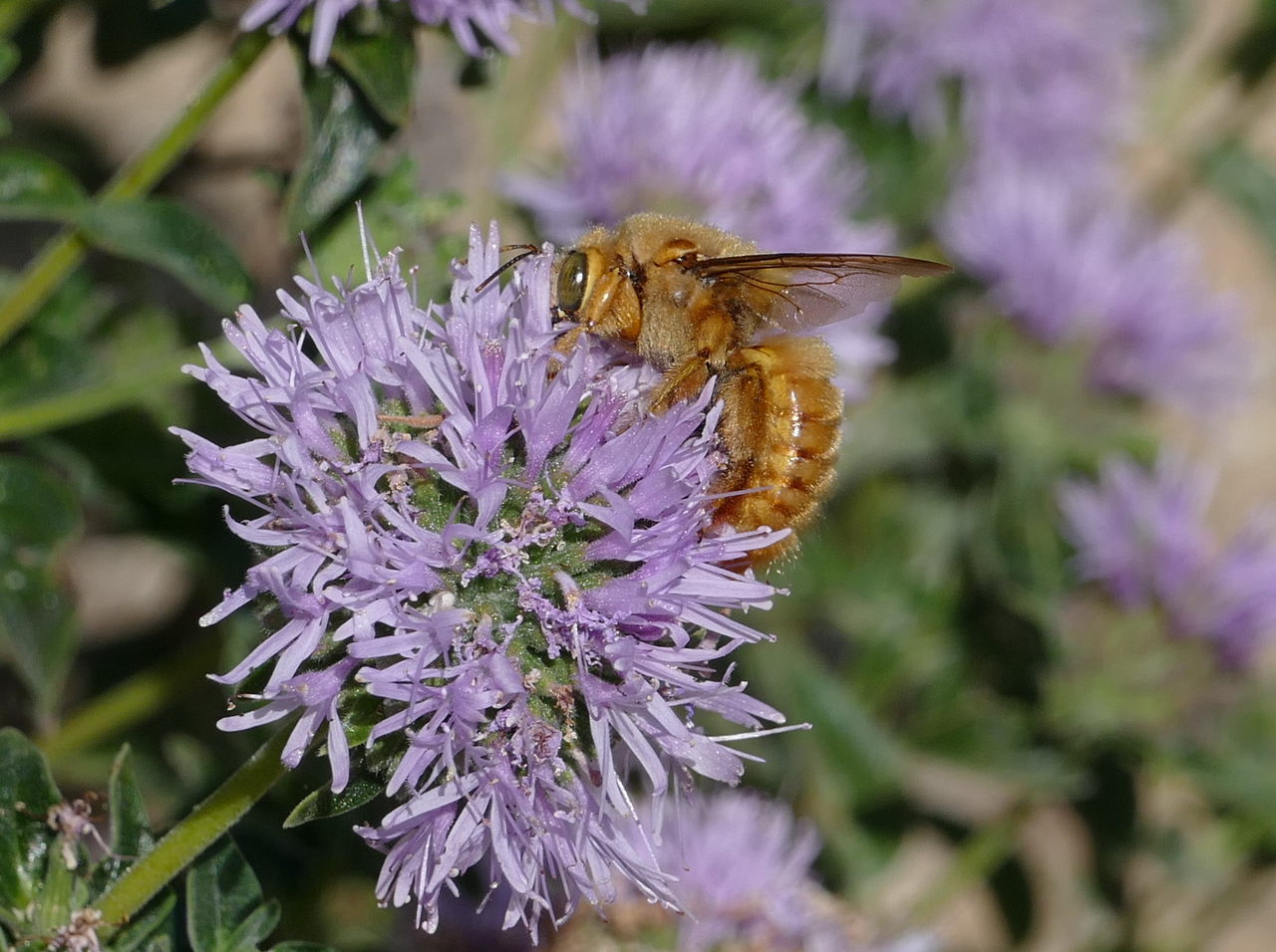 The valley carpenter bee returned to the coyote mint flowers so I took more pictures.  Sorting out the best pictures later was a chore but who's gonna stop when you have a subject like this in front of the camera.