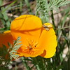 I spotted this leaf hopper on a California poppy flower.