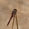 One day as we finished lunch on the patio, we spotted a dragonfly perched for some time on a tall stem.  I got a camera and eased up to take a picture.  This dragonfly was cooperative until I finally got too close for its peace of mind.