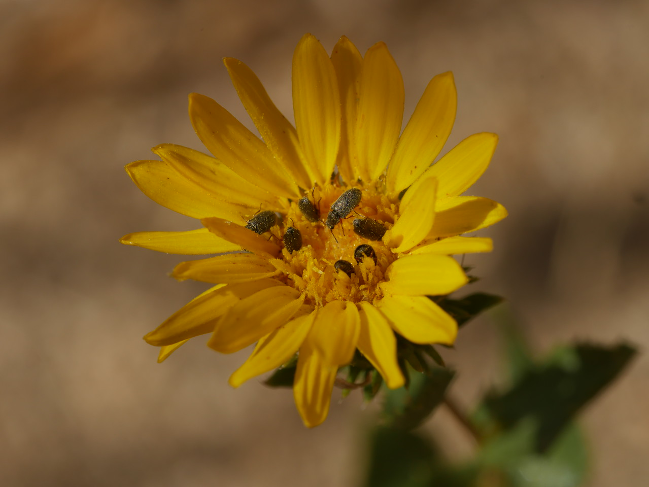 Most of the grindelia plants had finished blooming long ago.  If you are a hungry beetle, this was the only diner in town still open.