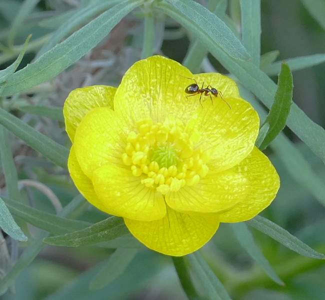Buttercups got off to an early start this winter.  I was interested to see an ant on this flower  - December 27.