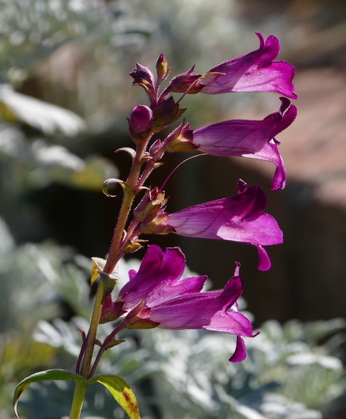 A couple of block from my house, this penstemon was blooming vigorously.  Love the deep purple color.