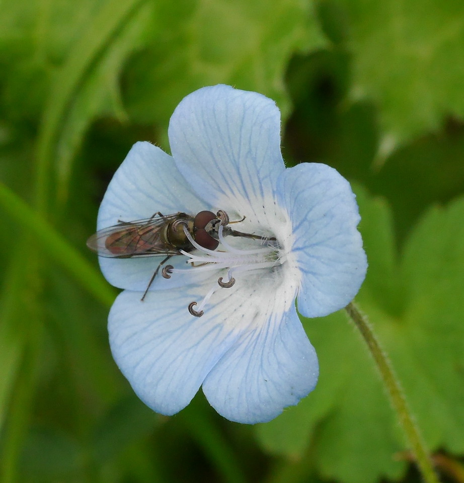 We visited Walnut Creek's Open Space areas and Mt. Diablo State Park several times this year.  We love seeing wildflowers and taking pictures.  This baby blue eyes flower came with an insect bonus.