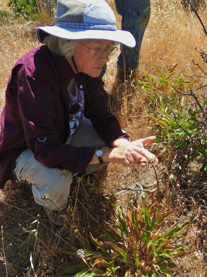 Lesley continues to do habitat restoration projects in WC's Open Space with her Tuesday group of volunteers.  She is collecting seeds for restoration work here.