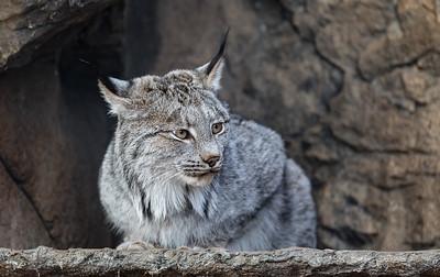 Lynx d'Amérique