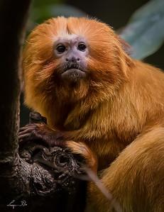 Tamarin - Lion doré